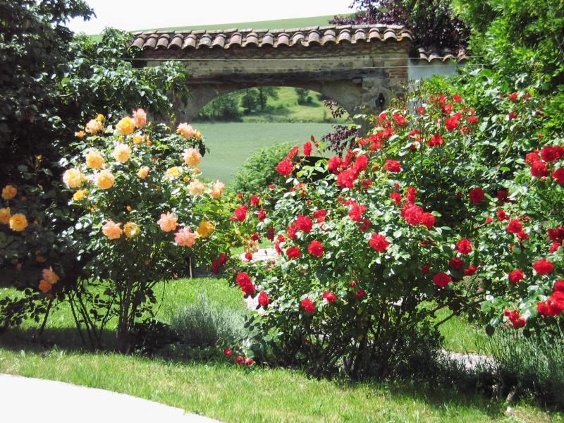 Massifs de rosiers à ma maison de campagne